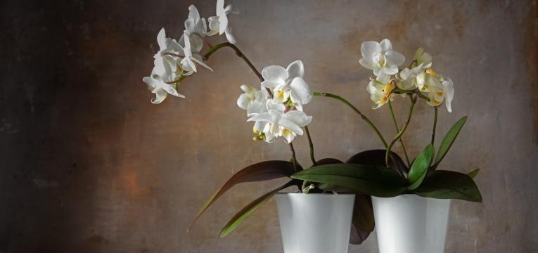 Orquídea Phalaenopsis plantas de interior que não consegue matar
