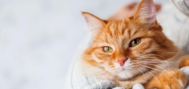 saibada tudo sobre esterilizar uma gata