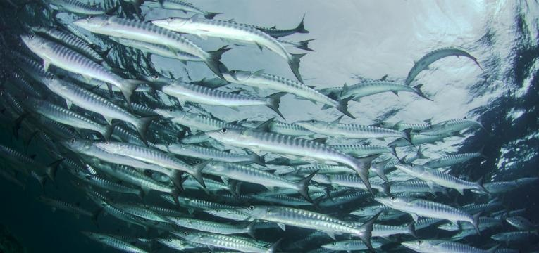 Cardume de barracudas, Barracuda Point, Malásia