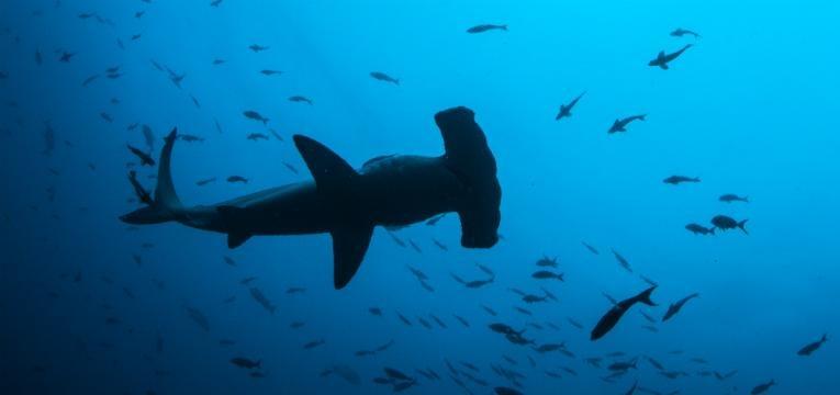 Tubarão-martelo, Costa Rica