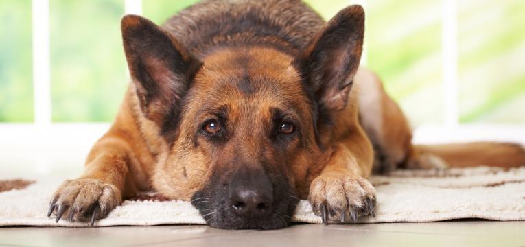 quantas vezes deve passear o seu cão idoso