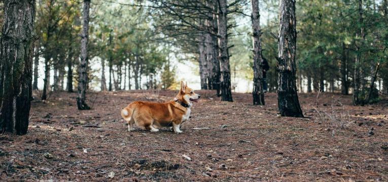 quantas vezes deve passear o seu cão adulto