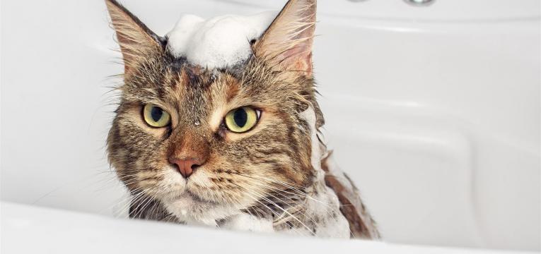 conheça dicas para dar banho ao gato