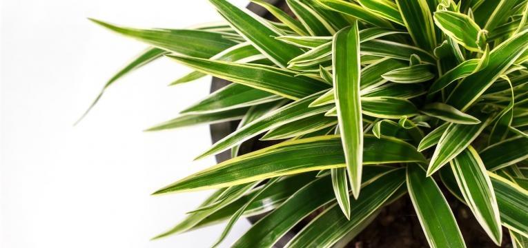 a Dracena é uma das plantas venenosas para animais