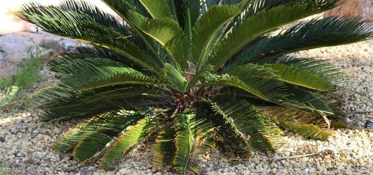 a Cycas Revoluta é uma das plantas venenosas para animais
