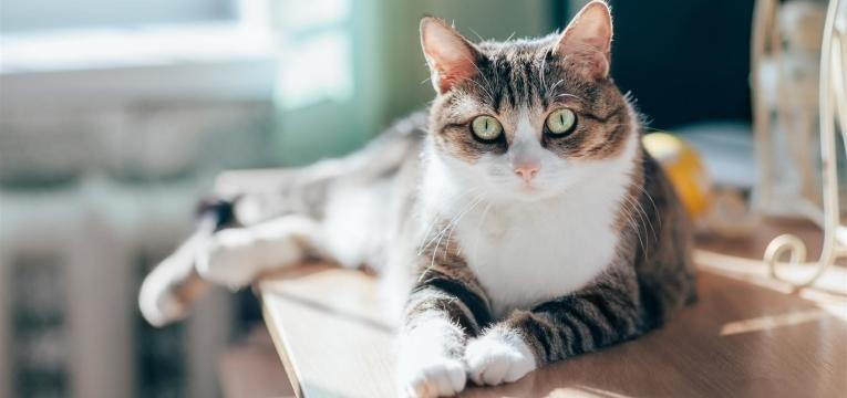 aqui está o que tem de saber antes de adotar um gato