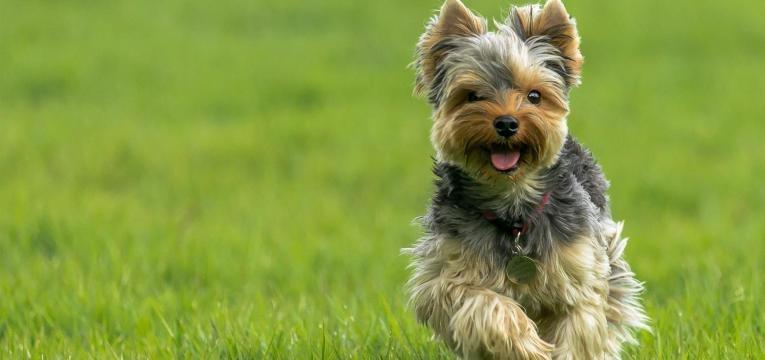 ALT yorkshire terrier