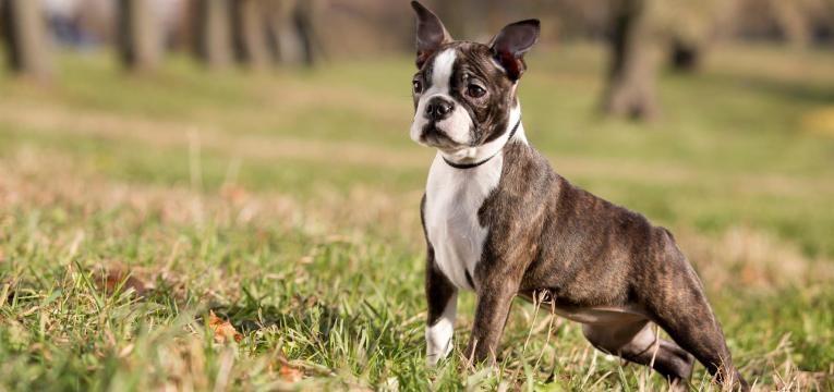 ALT boston terrier