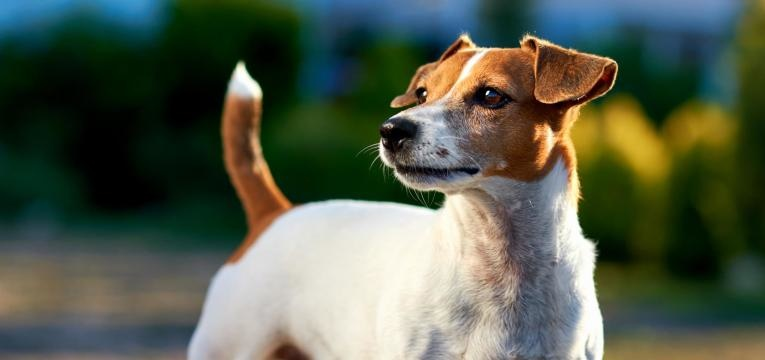 ALT jack russell terrier