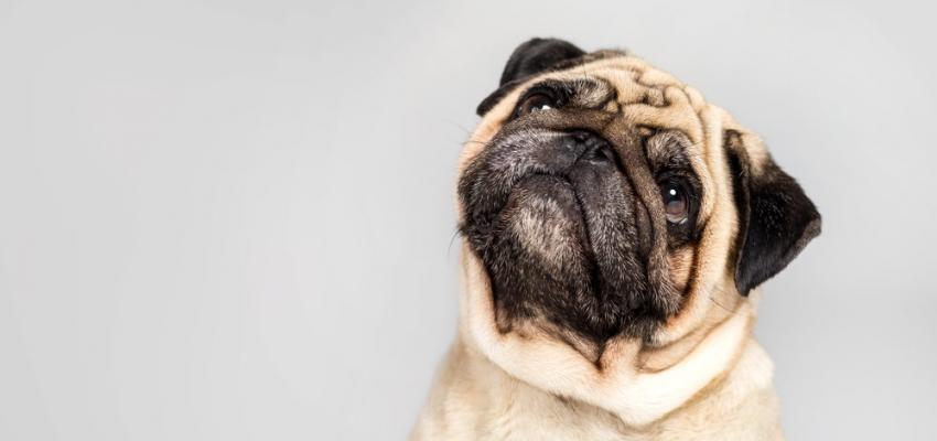 15 sinais de que o seu cão está doente: como identificá-los?