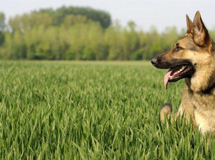 Cães de guarda: 5 raças indicadas para proteger a casa
