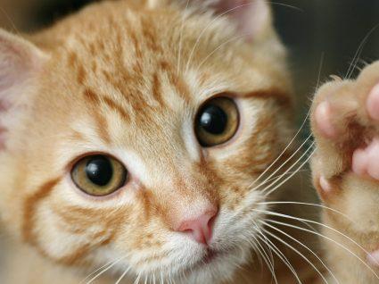 Hoje é o Dia Mundial do Gato. Veja curiosidades e ideias para celebrar