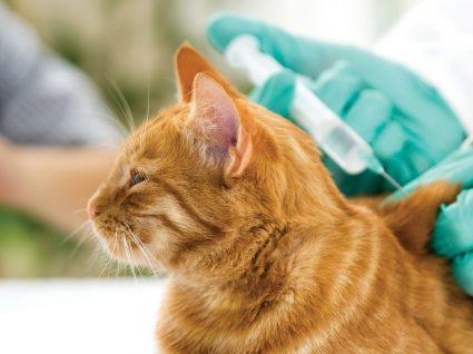 Vacinas dos gatos: tudo o que deve saber