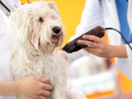 Tosquiar o cão: sim ou não?