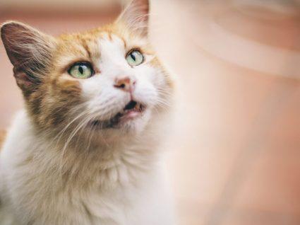 O seu gato mia muito? Descubra 5 possíveis razões