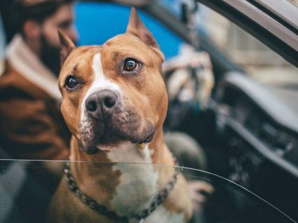 Raças de cães perigosas: quais são e quais as regras a seguir