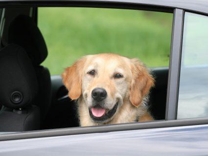 Cinto de segurança para cães é obrigatório? Saiba tudo