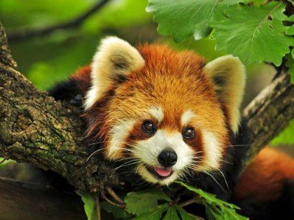 Crias de Panda-Vermelho chegam ao Zoo neste Natal