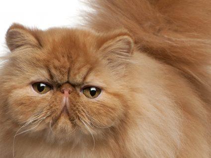 Gato persa: cuidados a ter com a raça