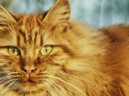 Raças de gatos: conheça 25 felinos diferentes