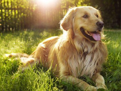 Cães de porte grande: 10 raças a conhecer