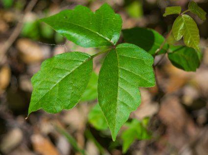 Hera venenosa: 5 receitas caseiras para atenuar a alergia