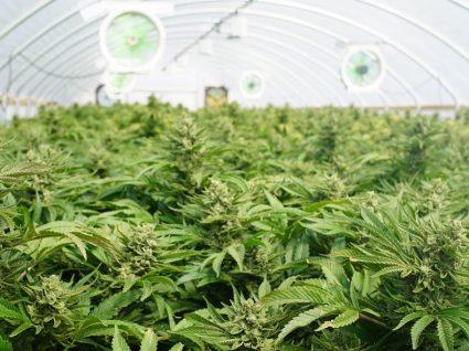 Plantação de canábis medicinal vai criar 100 postos de trabalho em Coimbra