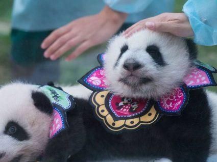 Macau mostra pandas bebés pela primeira vez ao público no Ano Novo chinês