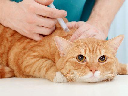 Plano de vacinação para gatos: gratuito ou obrigatório?