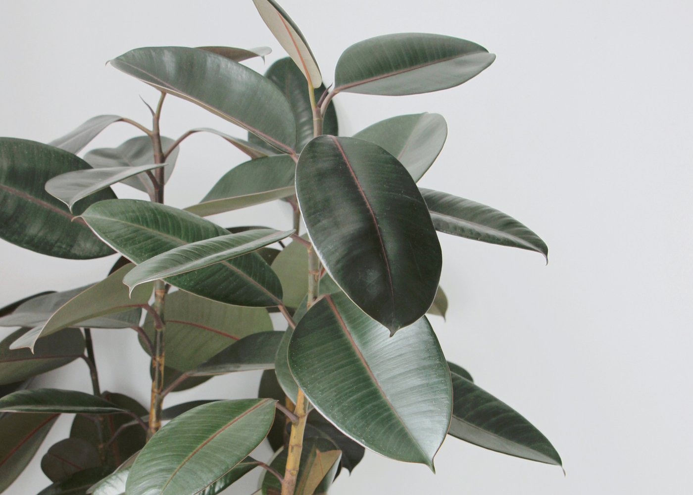 plantas que limpam o ar borracha1