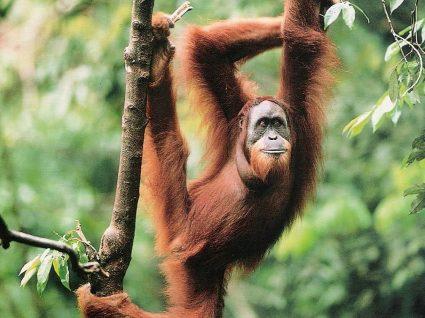 Neste São Valentim partilhe o seu amor com… orangotangos