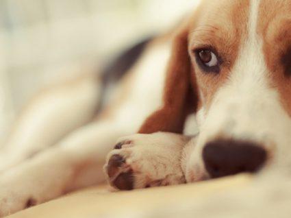 5 sinais de que o seu cão está deprimido