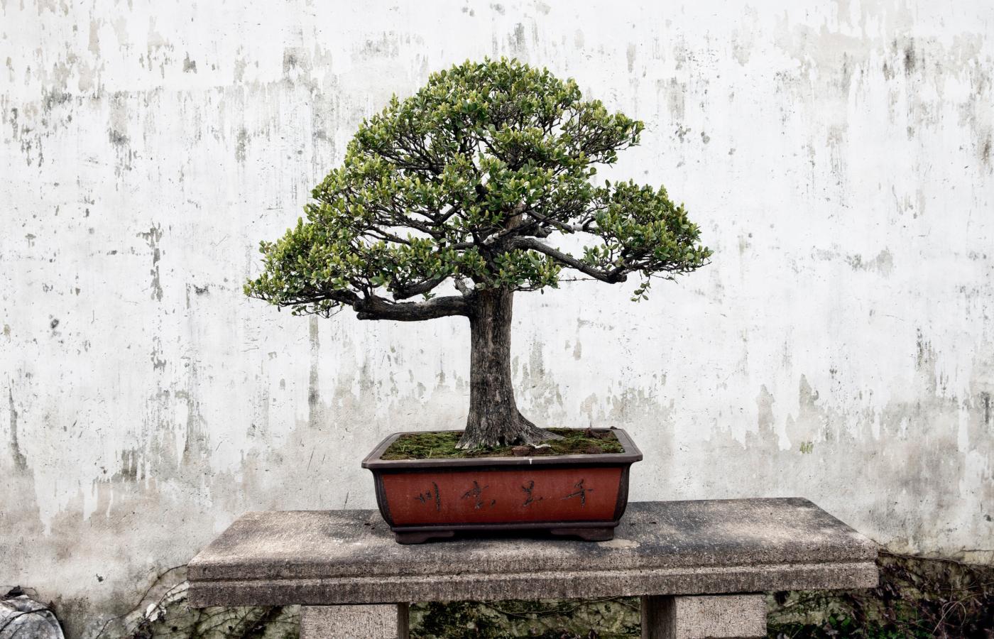 onde comprar um bonsai
