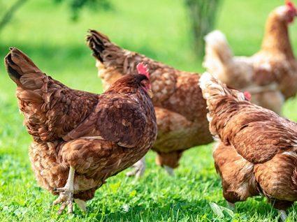 Tem mais de 100 galinhas? Tem de as declarar até ao final do mês