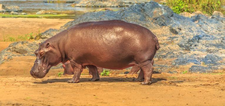 kruger hipopotamo