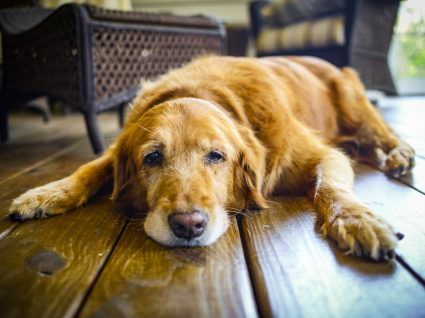 Cão já envelhecido