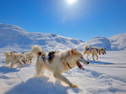 Cães a puxar trenó na Gronelândia
