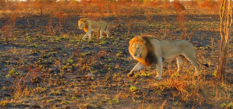 leões adultos a caminhar em Kruger Parque