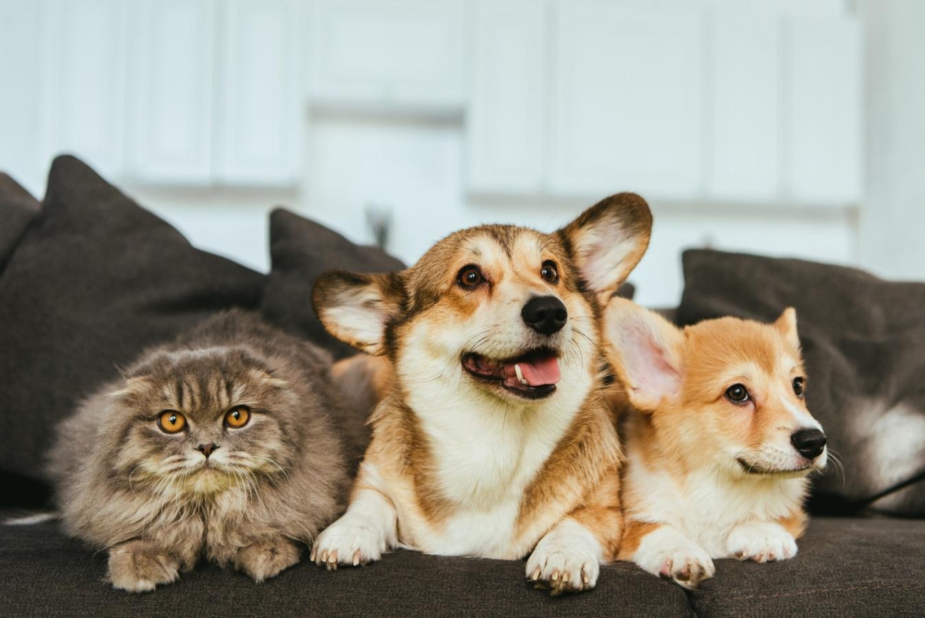 cães e gato num sofá