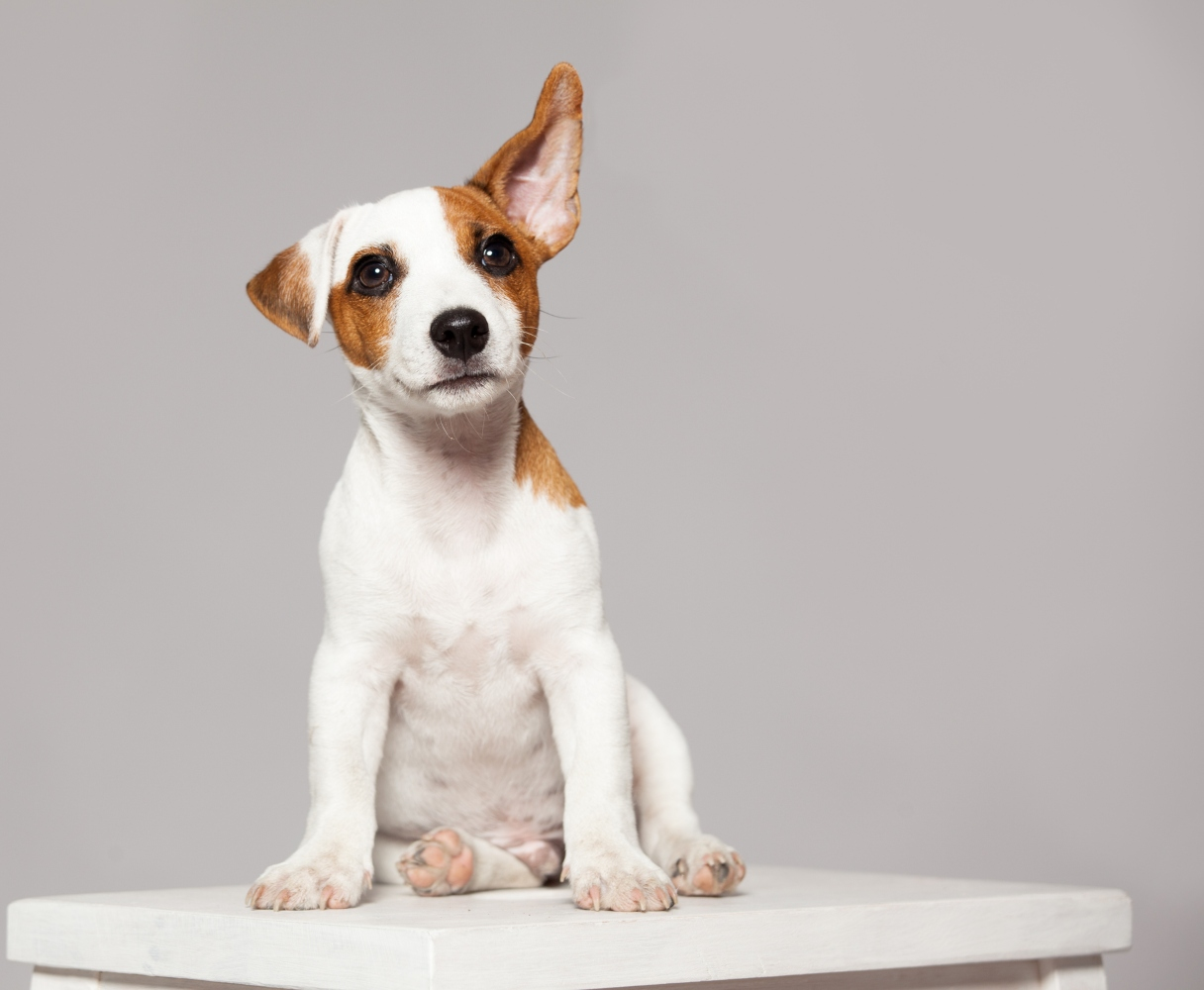 cão com orelhas levantadas