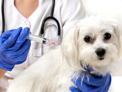 Cão a ser vacinado