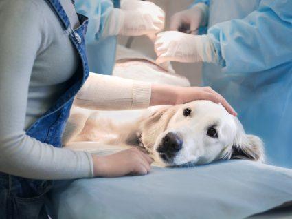 Custo para esterilizar um cão