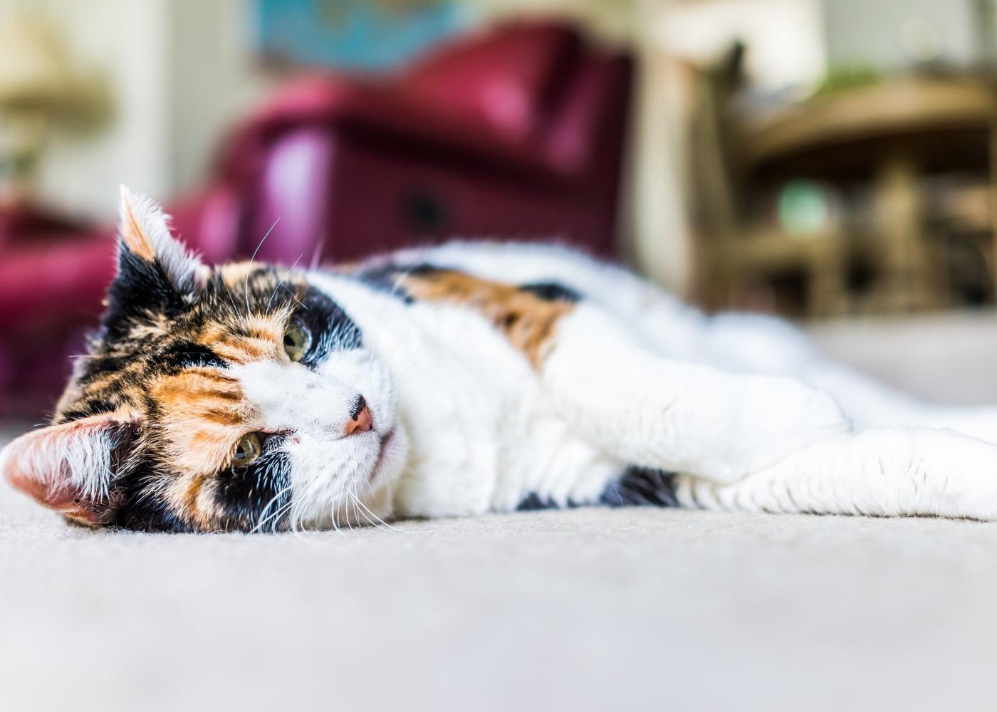 gato idoso deitado no chão da sala