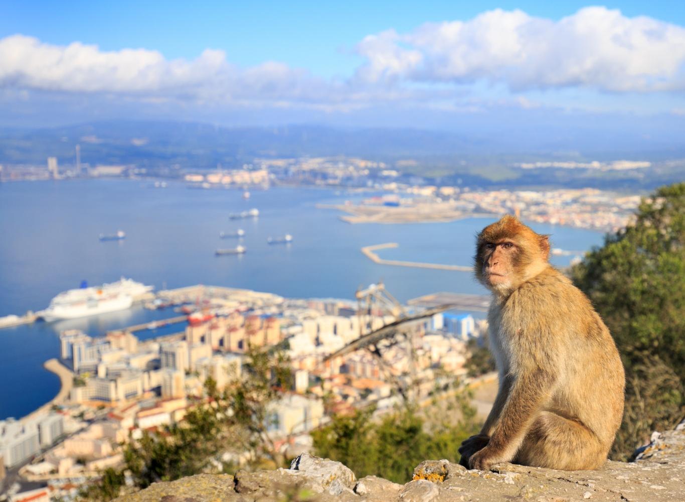 Gibraltar macacos