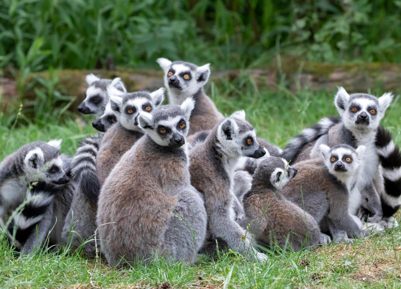 Lemures em Madagáscar