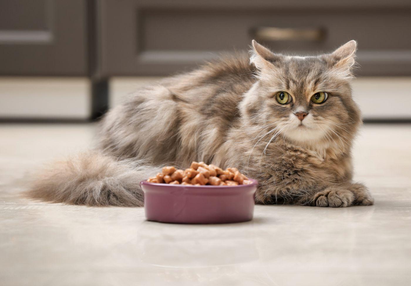 Gato com tijela de comida