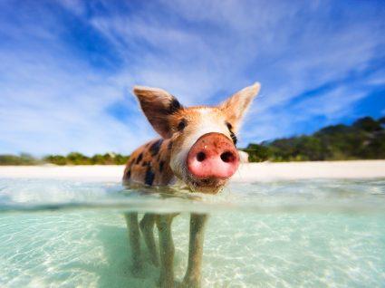 porcos nadadores em ilha das Bahamas
