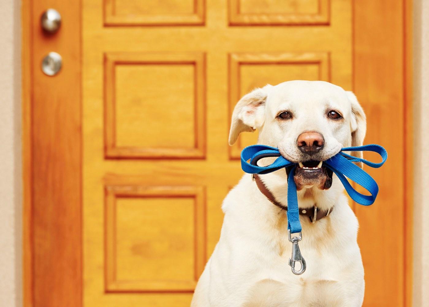 Cão com trela na boca