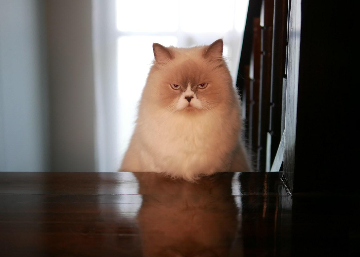 Gato persa nas escadas