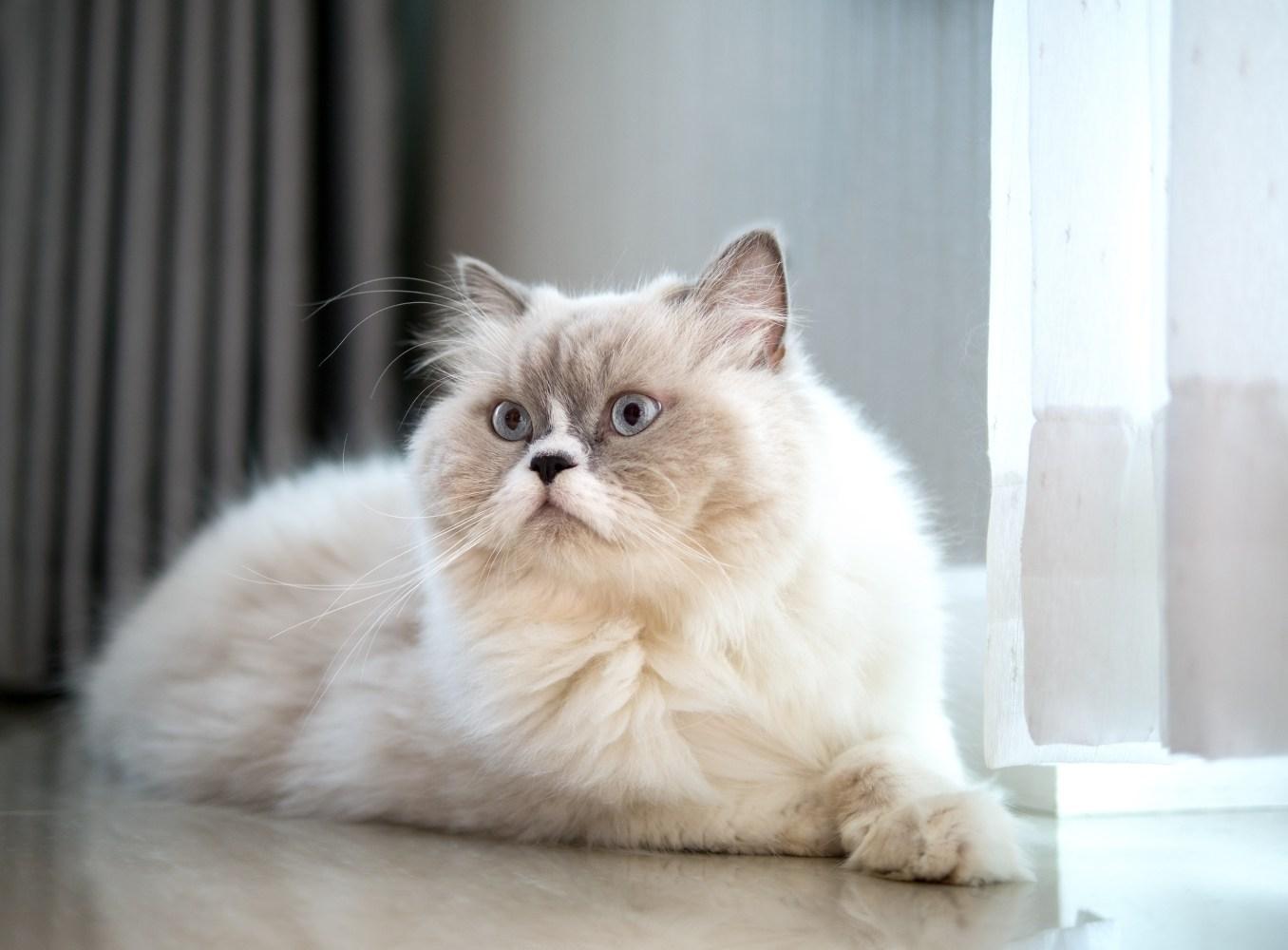 Gato persa à janela